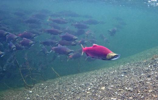 Sockeye Salmon in Lake Illiamna. | Pat Clayton