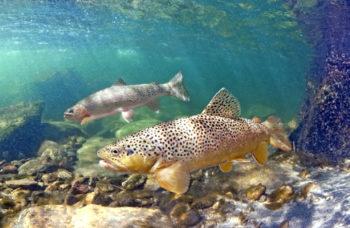 Smith River trout | Pat Clayton