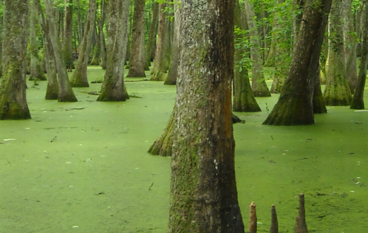 Pearl River bayou
