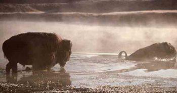 Bison, Yellowstone River, MT | J Schmidt, National Park Service