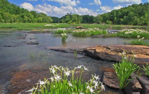 Flint River Shoals spider lillies | Alan Cressler