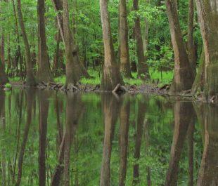 Congaree River swampland | Alan Cressler