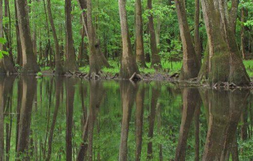 Congaree River swampland   Alan Cressler