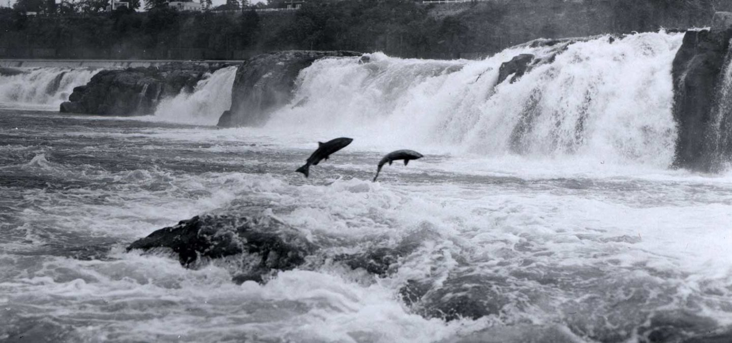 Salmon leaping at Willamette Falls | FlickrCC