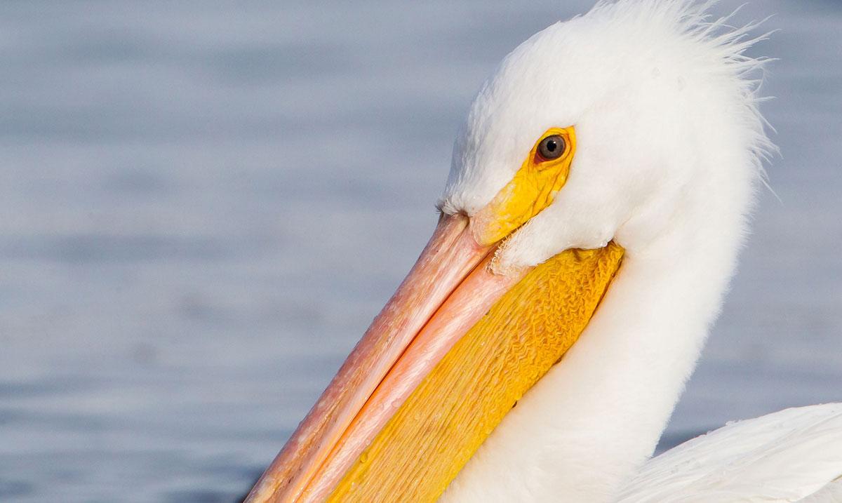 White pelican | USFWS