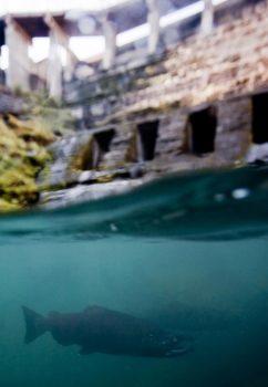 Chinook below Elwha Dam | Jeremy Monroe