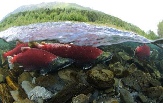 Sockeye running up the Kenai River to spawn. | Kentaro Yasui