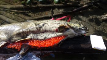 This Green River Chinook salmon died before she could mate and lay her eggs. A pathology exam found evidence of a bacterial disease known to thrive in warm water.   Northwest Indian Fisheries Commission