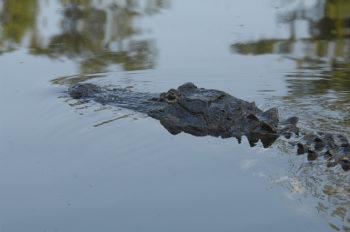 Alligator in the Pascagoula River.   Flickr: Visit Mississippi