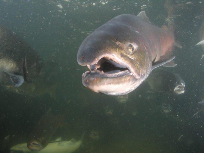 Chinook Salmon | Photo: CA Dept. of Fish and Wildlife