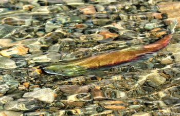 Cle Elum River Sockeye Salmon | Photo: Tom Ring