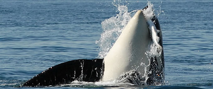 Orca preying on Chinook | Photo: The Center for Whale Research
