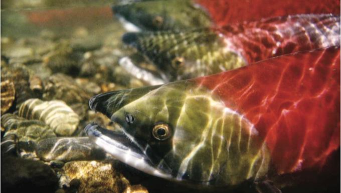 Sockeye Salmon   Photo: Save Our Salmon