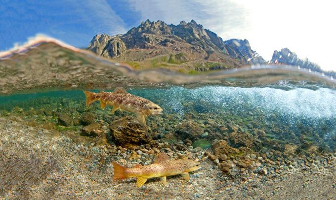 East Rosebud Creek Trout | Pat Clayton