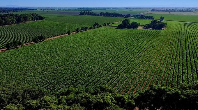 The fields at Bogle Vineyards