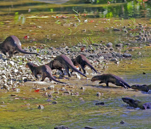 Otter stampede along the Middle Fork of the Vermilion River, IL. | Nature Photography by David Hale