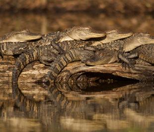 Alligator Stack | Stephen Kirkpatrick