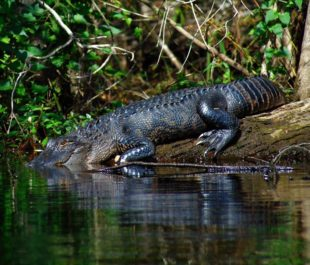 Alligator in the Waccamaw River | Photo by Gator Bait Adventure Tours
