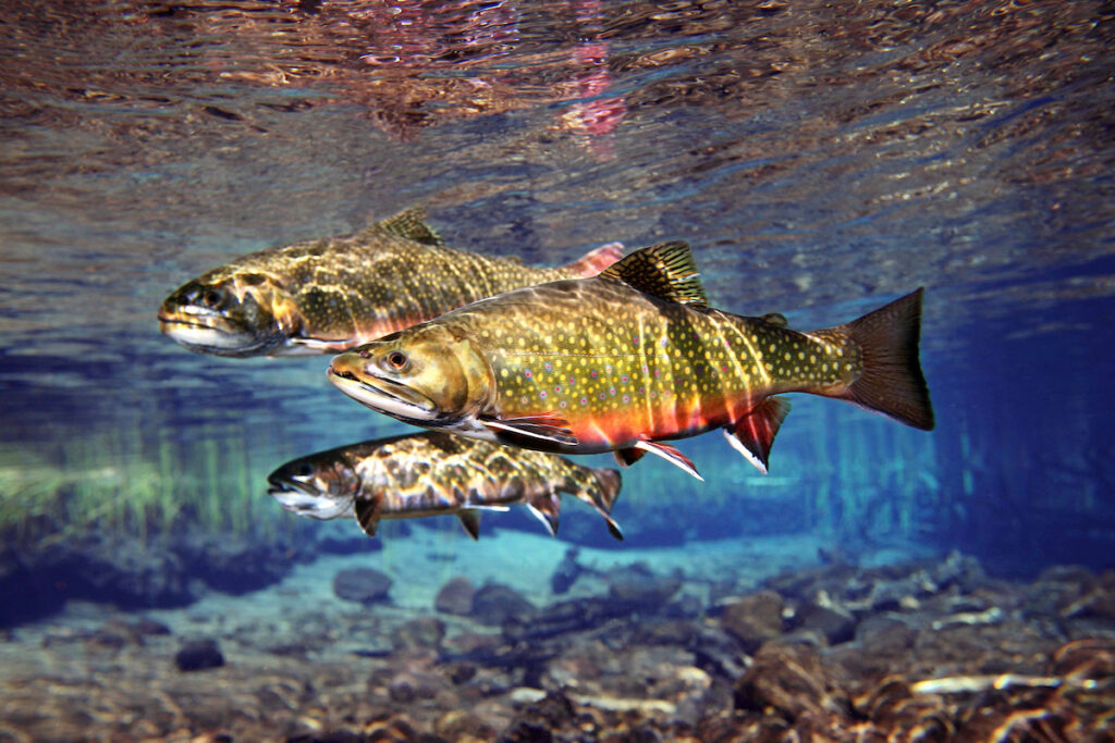 Williamson River Brook Trout, OR   Photo by Pat Clayton