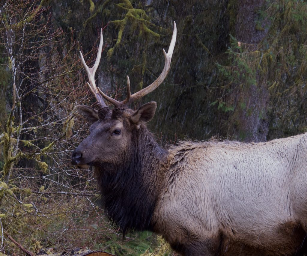 Buck Elk | Photo by Bridget Moran