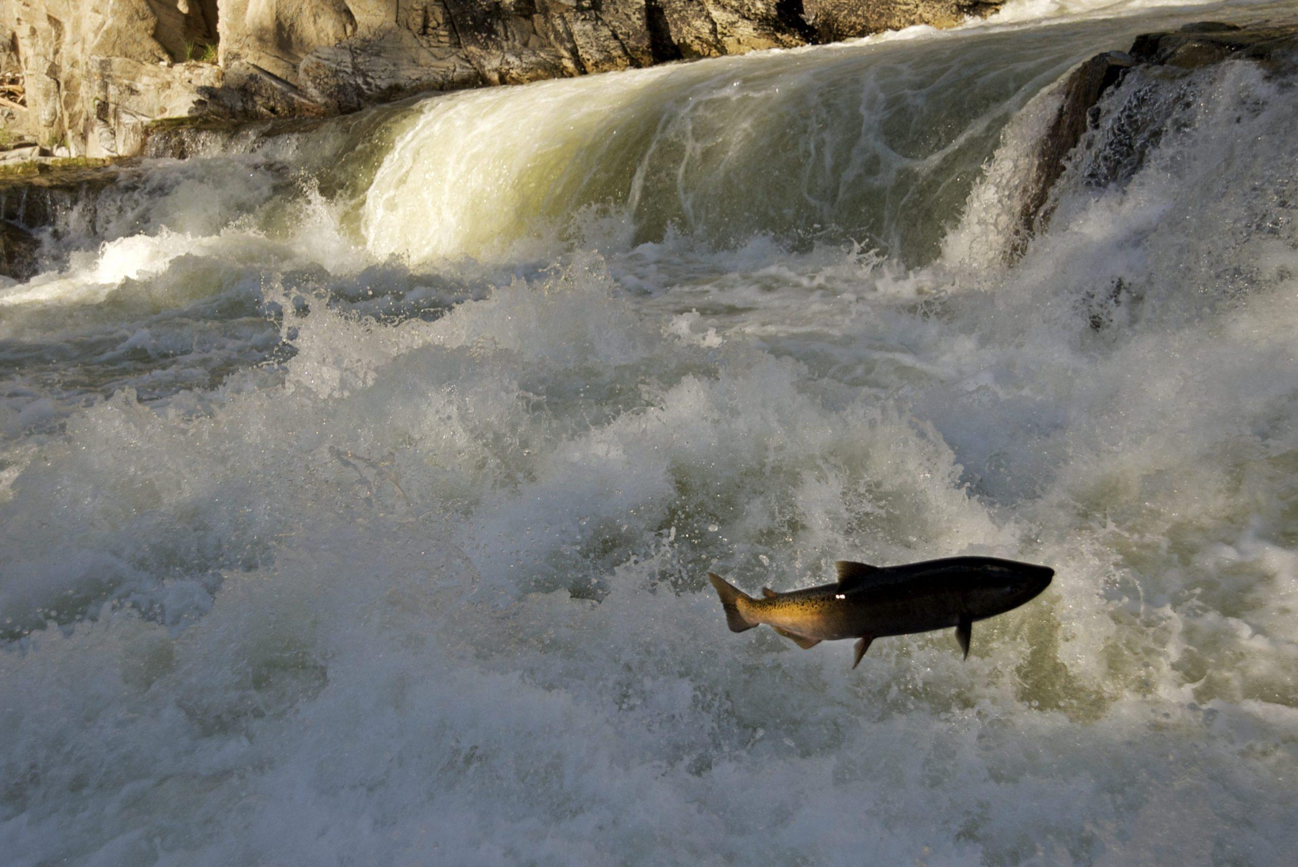 Chinook Salmon jumping at Dagger Falls, Idaho